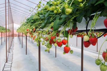 Raw of Strawberries
