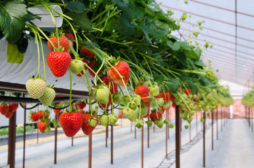 Raws of Strawberries
