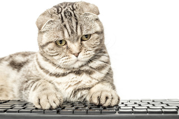 Scottish Fold works sitting at a computer