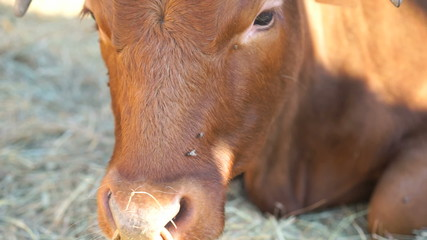 Bull with a bull ring lying on straw