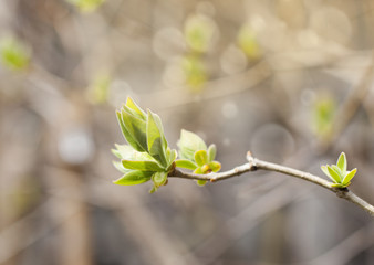 The first spring gentle leaves, buds and branches background.