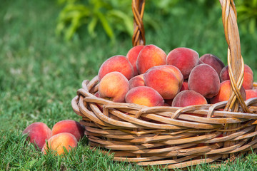Freshly picked peach fruits in basket in garden