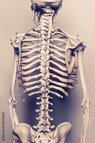 Human skeleton The back vertebral - 65741405