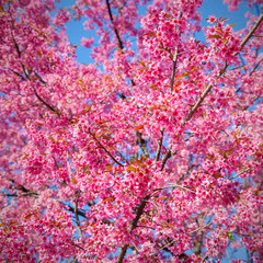Beautiful Cherry blossom , pink sakura flower in ChiangMai