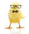Cute little chicken in glasses