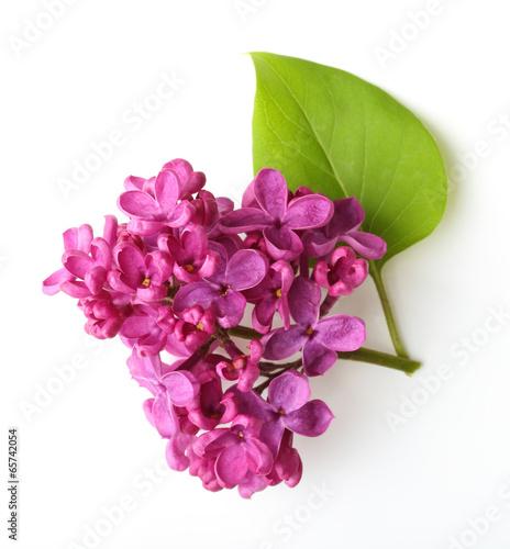Foto op Canvas Azalea Spring flower, twig purple lilac with leaf.