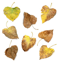 Collection of differents autumn leaves over white background