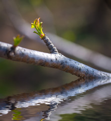 Green bud reflected in water surface. Selective focus.