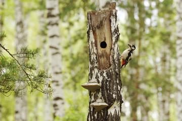Woodpecker near a hollow into the dry birch