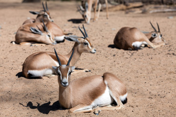 Few  gazelles on sand