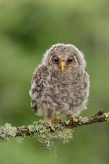 Juvenile Ural Owl