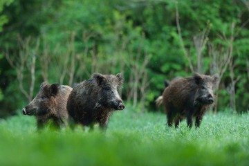 Wild boars with forest background