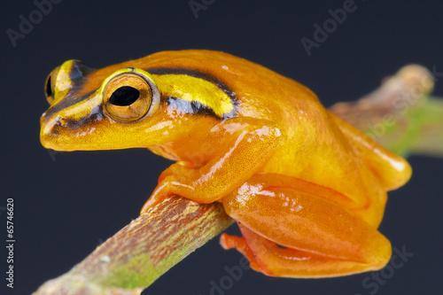 Golden sedge frog / Hyperolius puncticulatus - 65746620