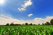 Green Corn Field - 65747441