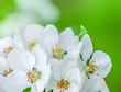 ������, ������: apple blossoms