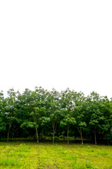 Rows of rubber trees in Thailand