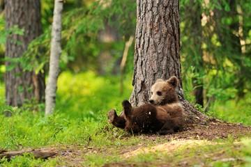 Bear cub resting