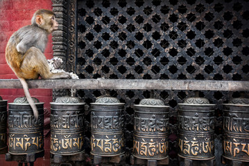 Monkey on prayer wheels in Nepal