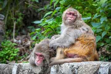 Monkeys in Nepal