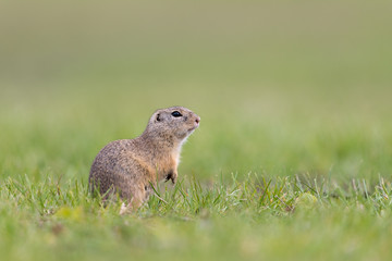 Europäischer Ziesel, European ground squirrel, Spermophilus cit