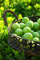 Green plums in basket