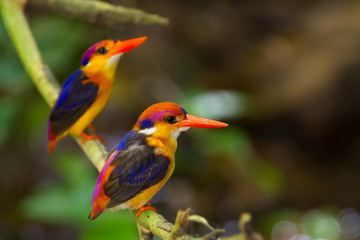 Couple lover of Dwarf Kingfisher on the branch in nature