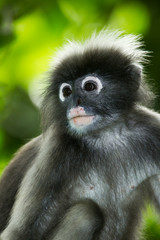 Portrait of Dusky Leaf-monkey  in nature a