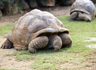 Big Seychelles turtle eat