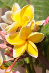 fleurs jaunes de frangipanier