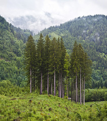 Group of conifer trees in mountain landscape