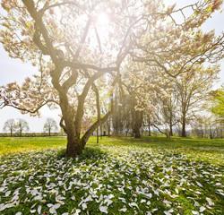 Wonderful magnolia tree in sunshine