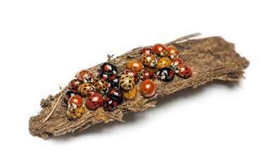 Nest of ladybugs on a bark piece