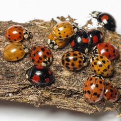 Nest of ladybugs on a bark piece