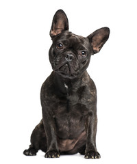 French Bulldog (1 years old)