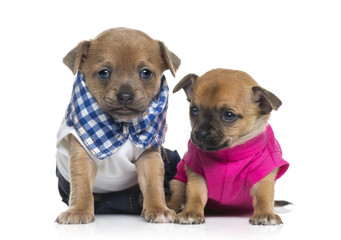 Two dressed Chihuahuas puppies (1 month old)