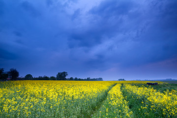 rapeseed flower field in dusk