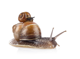 Garden snail (Helix aspersa) taxi isolated on white background