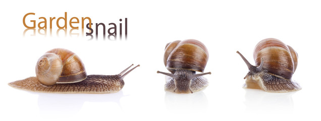 Set of garden snails (Helix aspersa)  isolated on white