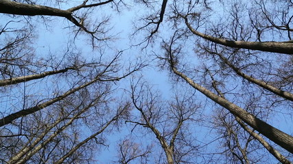 swaying tops of bare trees in forest against blue sky - slider d