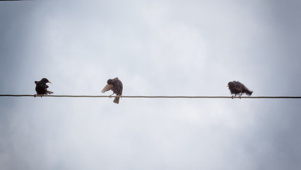 Three starlings sitting on wire