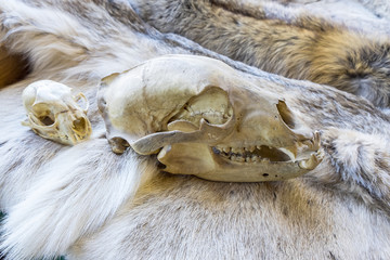 Bear and Lynx Skull on Display