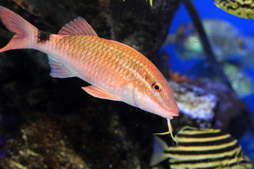 Whitesaddle goatfish (Parupeneus ciliatus) in Japan