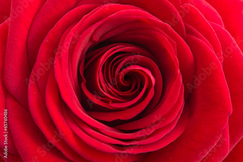 canvas print picture Einzelne rote Rose
