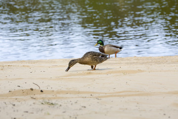 Duck goes on a beach along a reservoir