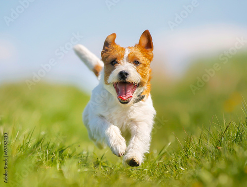 In de dag Hond Jack Russell Terrier dog