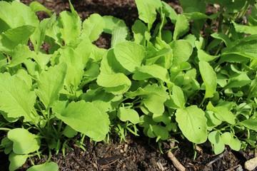 plants de radis et carottes