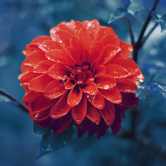 red dahlia with dew drops on a background of of leaves