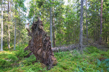 Upprooted tree