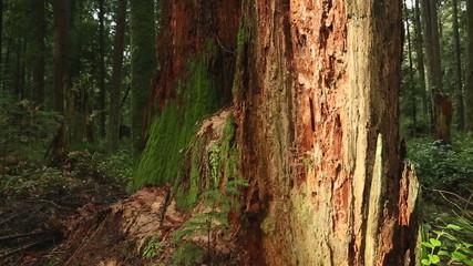 Old Stump, Pacific Northwest Rainforest