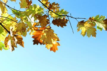 Feuilles de chêne couleurs automne sur ciel bleu